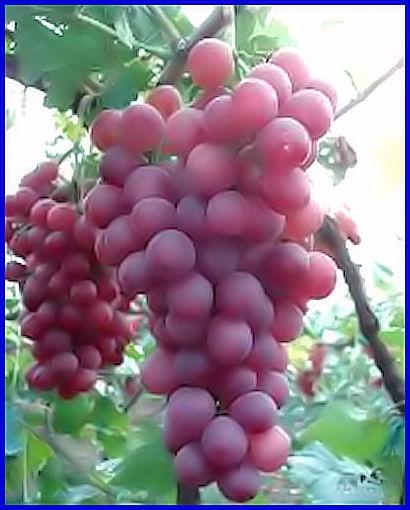 Plants de raisin crimson rose sans p pin - Graine de pasteque sans pepin ...